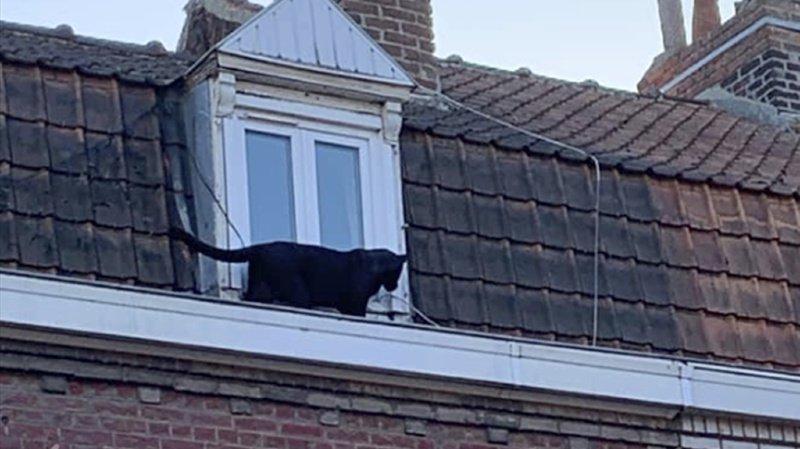 Le fauve s'était offert une balade sur les toits d'Armentières, la semaine dernière.