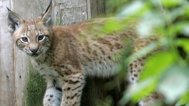 Jill Masengale Hicks a confondu un bébé lynx un peu plus jeune que celui-ci (photographié dans un parc animalier de Munich) avec un chaton.