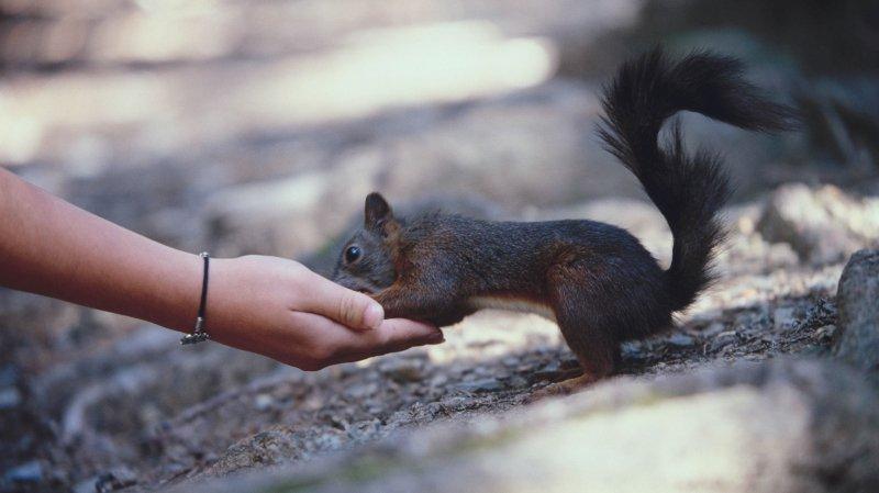 Avec un peu de douceur, les écureuils se laissent approcher. On peut les nourrir avec des noisettes et des noix.