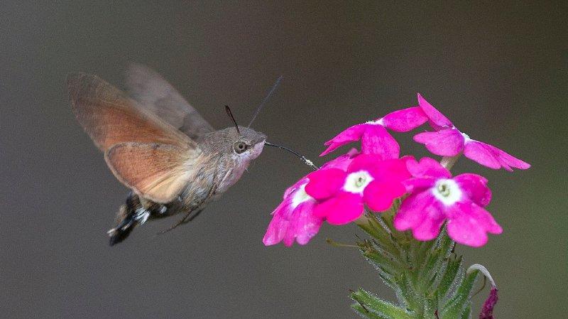 Difficile de distinguer un moro-sphinx d'un colibri.