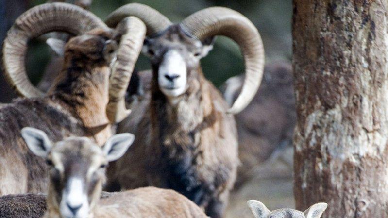 De nombreux mouflons vivent dans la région de Torgon, animal emblématique de la station.