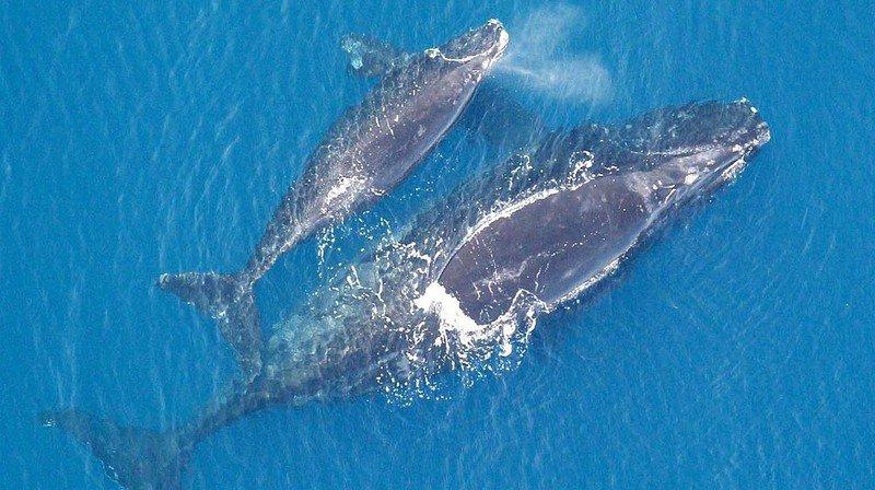 Les baleines franches de l'Atlantique nord adaptent leur communication pour protéger leurs petits.