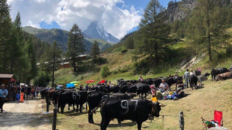 Les vaches de la race d'Hérens sont attachées devant le Cervin lors du combat de Zermatt.