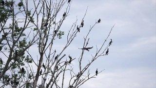 Les cormorans: fléau pour les pêcheurs sur le lac de Neuchâtel