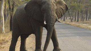 Zimbabwe: au moins 55 éléphants victimes de la sécheresse en un mois