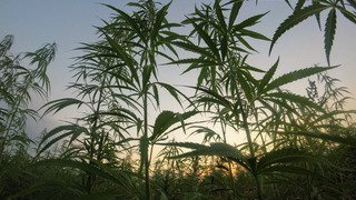 Une odeur de cannabis rend les riverains fumasses à Sion