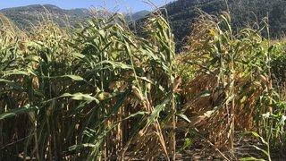 Bas-Valais: le maïs ne pourra plus être replanté en 2020 sur les mêmes parcelles qu'en 2019