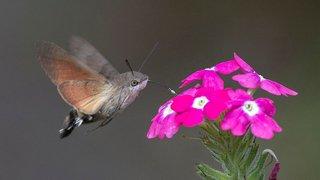 Le moro-sphinx, un papillon qui se prend pour un colibri