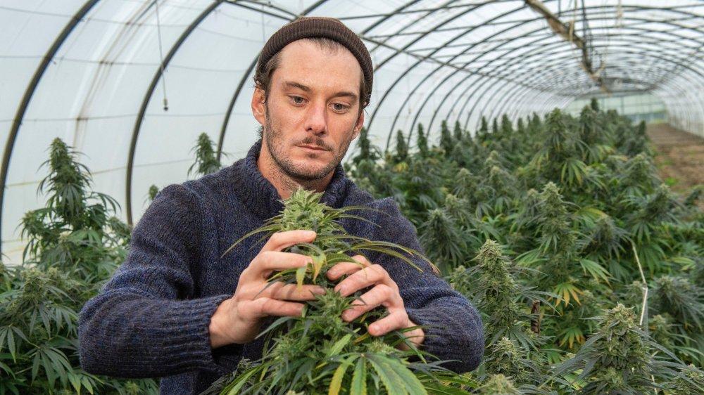 Vendredi dernier, le CBD de cette serre à Saxon était mûr à être récolté. Alexandre Évéquoz, qui commercialise du cannabis légal avec son entreprise Bloomlab, était présent pour veiller sur ses protégées.