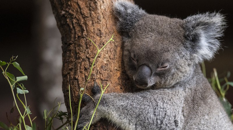Quand les koalas se retrouvent pris au milieu des flammes, ils grimpent jusqu'au sommet d'un arbre et se mettent en boule.