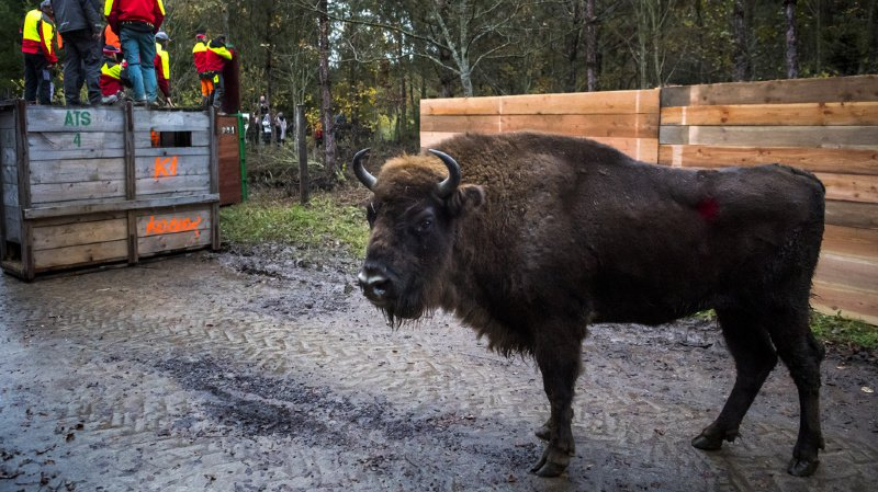 Environnement: cinq bisons sont arrivés dans la forêt de Suchy (VD)