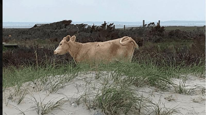 Etats-Unis: des vaches emportées par l'ouragan Dorian retrouvées vivantes sur une île