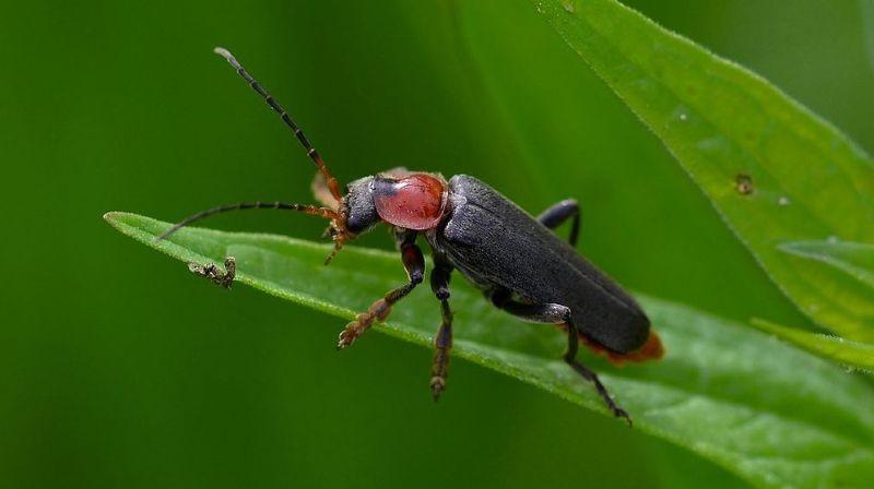 Agroscope à Changins: plus de 100 espèces de coléoptères sur une parcelle de colza