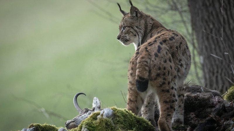 Braconnage du lynx en Valais: le Service de la chasse dépose plainte