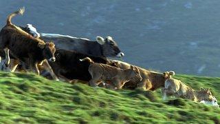 Valais: huit bovins se tuent à cause d'un chien