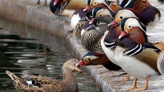France: accusés de «nuisances sonores», les canards de Soustons ne seront pas abattus