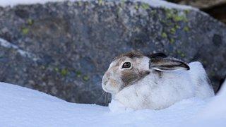 Le lièvre variable est le sprinteur des neiges