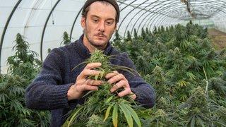 À la récolte du cannabis légal, ces autres vendanges du Valais qui se repèrent à l'odeur
