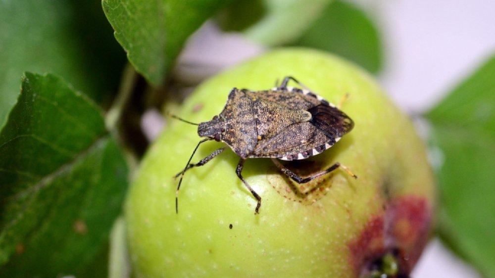 Les fruits valaisans n'ont pas souffert des attaques de la punaise diabolique. Pas encore.