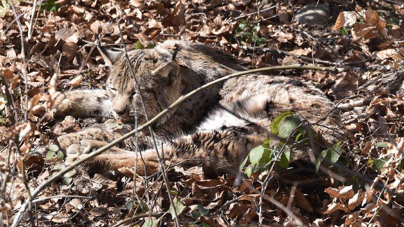 Chasse: on votera sur la possibilité de tuer des animaux protégés de façon préventive