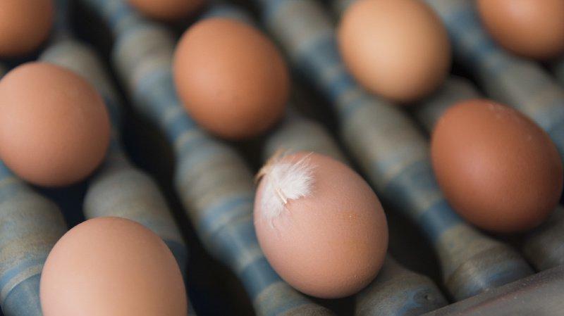 Agriculture: la barre du milliard d'œufs suisses dépassée pour la première fois