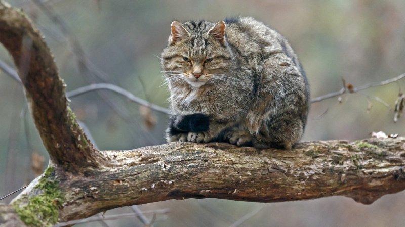 Le chat sauvage européen est l'animal de l'année 2020