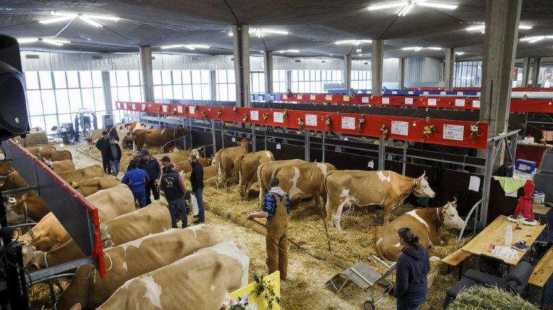Swiss Expo: 1000 vaches et 24'000 visiteurs attendus pour cette première édition à Palexpo