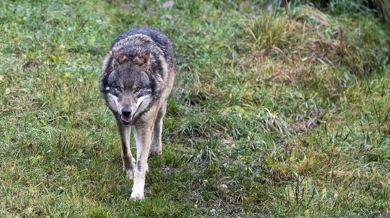 Le loup pourrait être un spécimen qui traverse régulièrement la frontière entre la Belgique et l'Allemagne. (Illustration)