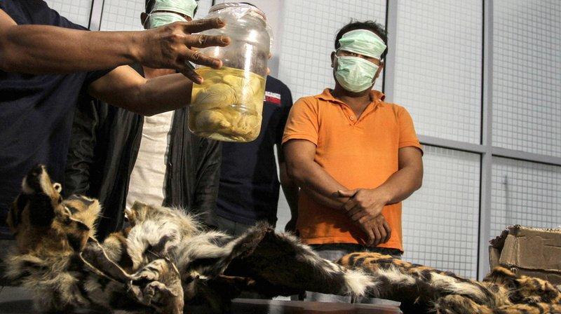Le tigre de Sumatra est une espèce en danger critique d'extinction.