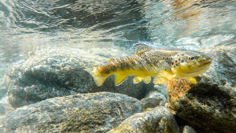 Faune: la truite menacée a été désignée poisson de l'année 2020