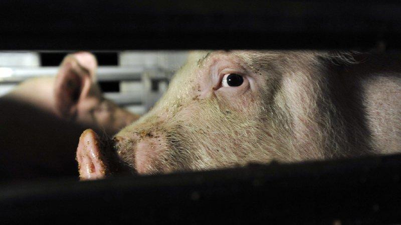 Les abattoirs suisses ne respectent pas toujours le bien-être animal