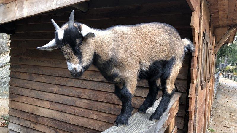 Les petites chèvres du zoo des Marécottes se plaisent à accueillir les visiteurs.
