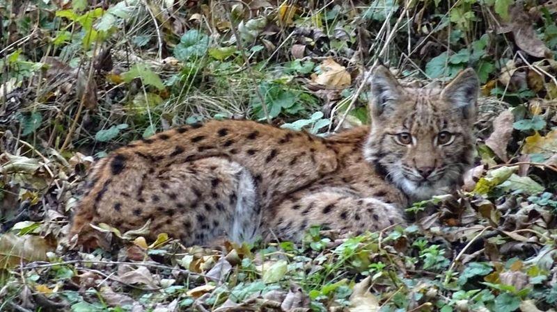 Un lynx affamé prend un chien pour proie au Guercet