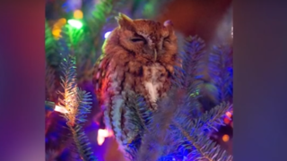 Etats-Unis: une famille découvre un hibou caché dans son sapin de Noël