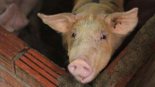 Uruguay: un cochon mort tombe du ciel