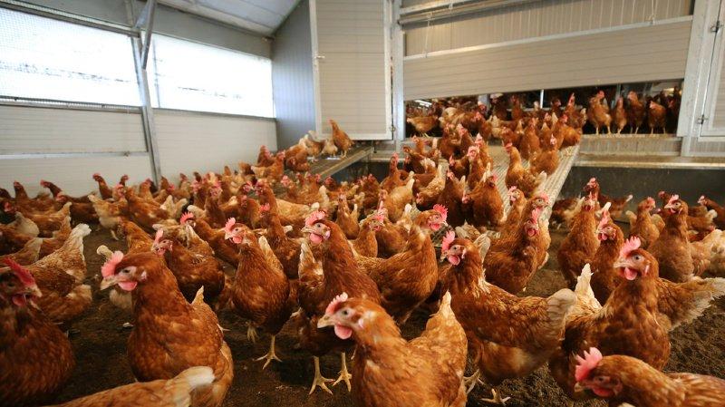 Virus: le risque que la grippe aviaire atteigne la Suisse est important