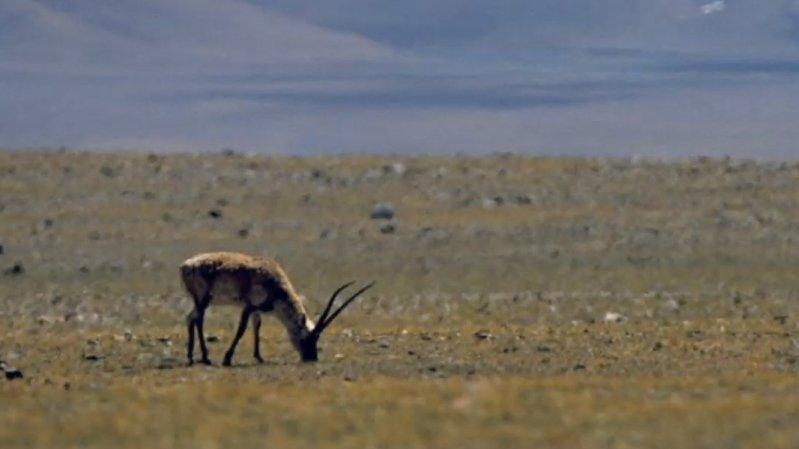 La Suisse s'inquiète du trafic illégal de châles en laine d'antilopes du Tibet, menacées d'extinction