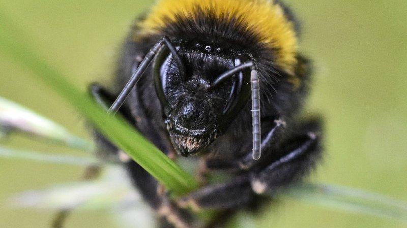 Le bourdon joue un rôle important de pollinisateur (archives).