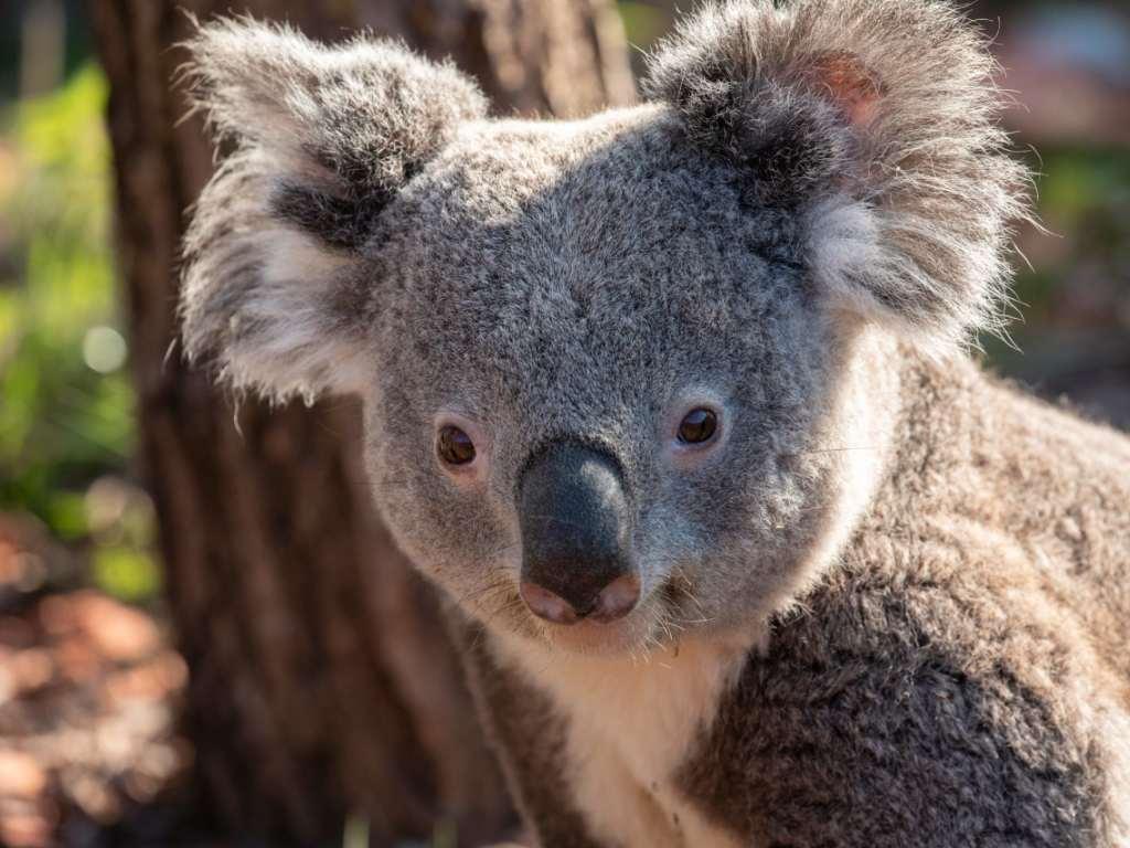 Zoo de Zurich: le koala mâle Milo meurt trois mois...