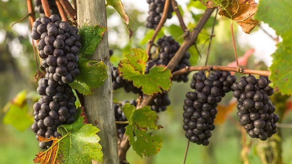 L'un des objectifs visés par les postulants est d'augmenter la culture bio dans nos vignobles.
