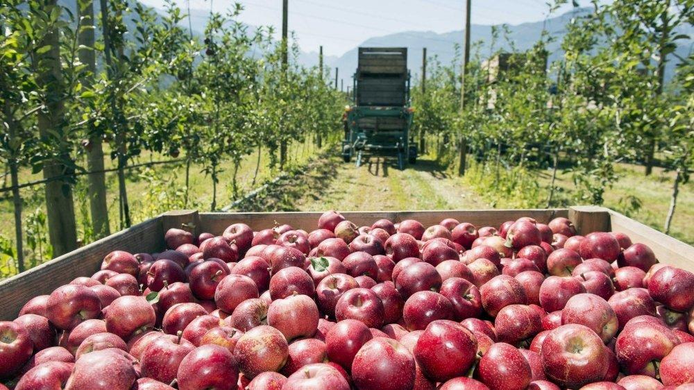 L'an dernier, la récolte de pommes valaisannes a enregistré un recul de 11% par rapport à 2018.
