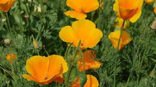 L'escholtzia ressemble à un coquelicot, mais sa couleur tire sur le jaune vif ou le jaune orangé.