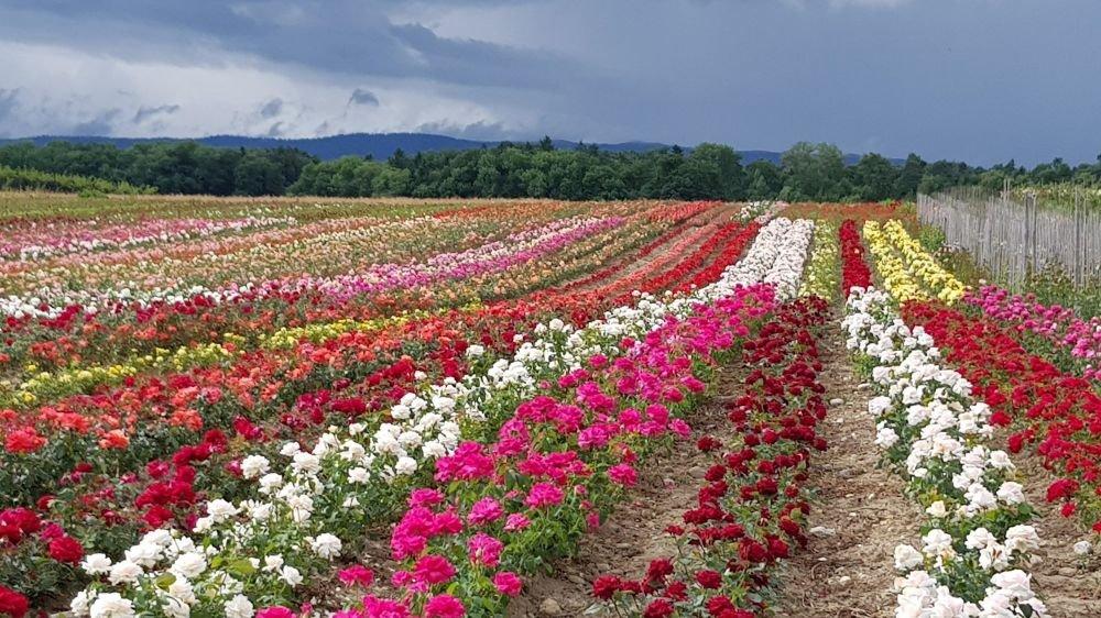 Quelque 85 000 rosiers, dont 350 variétés, sont cultivés sur une surface de 13 000 mètres carrés au soleil de Saint-Prex.