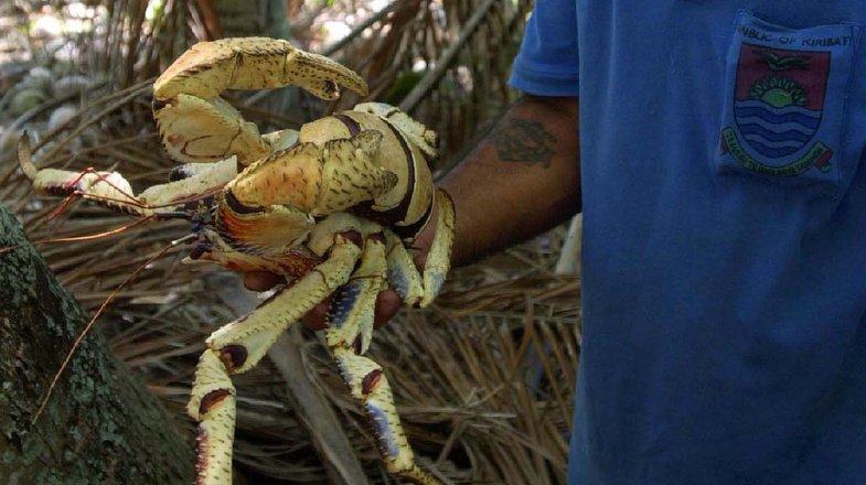 Les crabes de cocotier peuvent atteindre la taille d'un mètre. (Illustration)