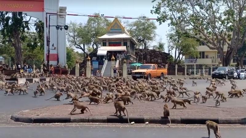 Thaïlande: des centaines de singes s'affrontent en plein centre-ville