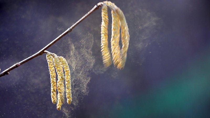 Il n'existe aucun lien prouvé à ce stade entre une allergie au pollen et le Covid-19.