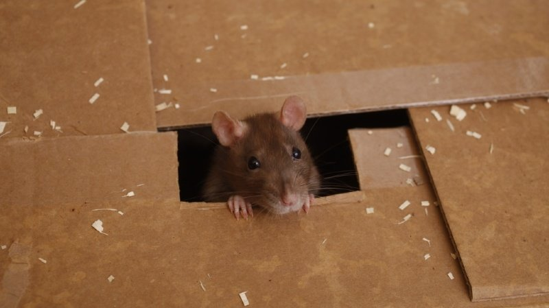 La recherche met en lumière le rôle des odeurs corporelles des rats bruns (surmulots) dans le contrôle d'un comportement de coopération animale (partager et dispenser de la nourriture) (ILLUSTRATION).