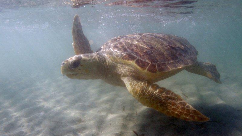 Après 20 ans passés dans un aquarium, une tortue parcourt 37'000 kilomètres en deux ans