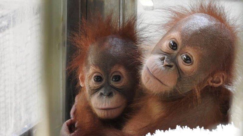 Insolite, un second bébé orang-outan