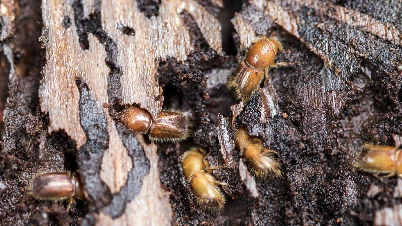 Par rapport à 2018, le nombre de nouveaux foyers d'infestation au bostryche a été multiplié par 1,6, selon le WSL.